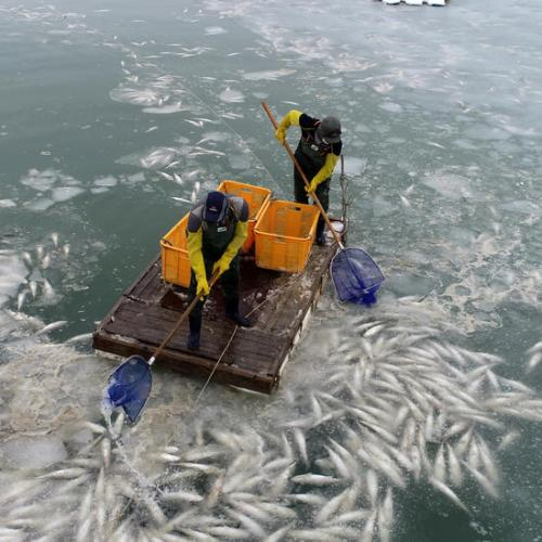 Photo Story: Fish freeze to death in sea off Muan, South Korea