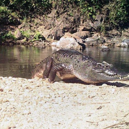 Photo Story: Endangered Siamese crocodile spotted in Thailand's National Park