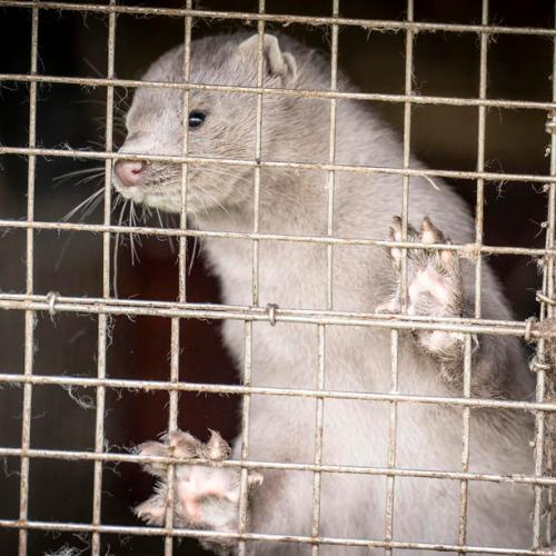 Coronavirus strain found in Polish mink can pass to humans
