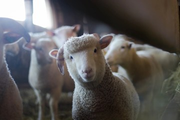 New Zealand to end livestock exports due to animal welfare concerns