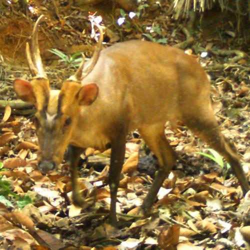 Photo Story: Rare giant barking deer spotted in Cambodia