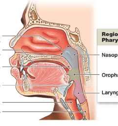 oral pharynx the pharynx a common passageway for solid food  [ 1102 x 766 Pixel ]