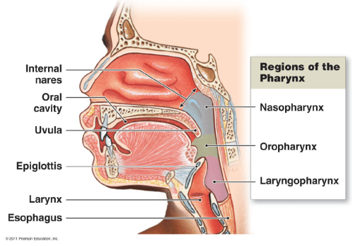 small resolution of oral pharynx the pharynx a common passageway for solid food
