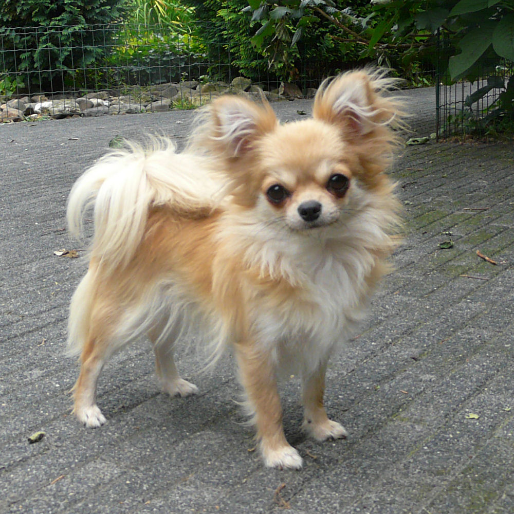 Black Tan Long Haired Chiuahuahs Images