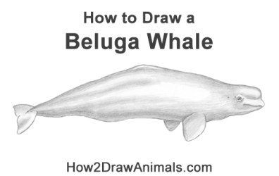 How to Draw a Beluga Whale VIDEO & Step by Step Pictures
