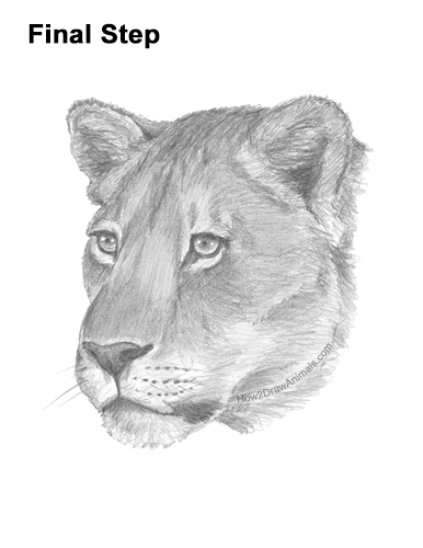 How To Draw A Lioness : lioness, Lioness, (Head, Detail), VIDEO, Step-by-Step, Pictures