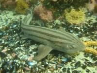 Carpet shark  Orectolobiformes - Fish