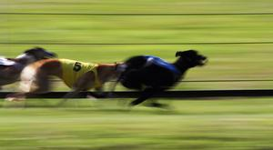 Greyhound Racing Results Amp News Independentie