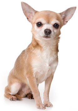 https://i0.wp.com/cdn-7.allsmalldogbreeds.com/breeds/chihuahua-short-coat.jpg