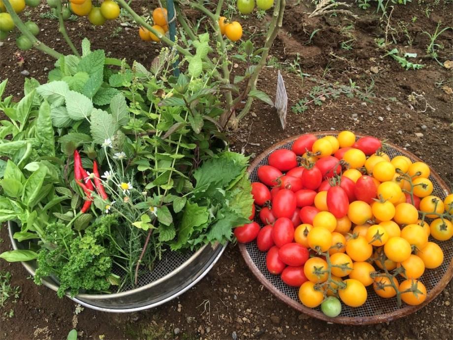貸し農園で育てた野菜