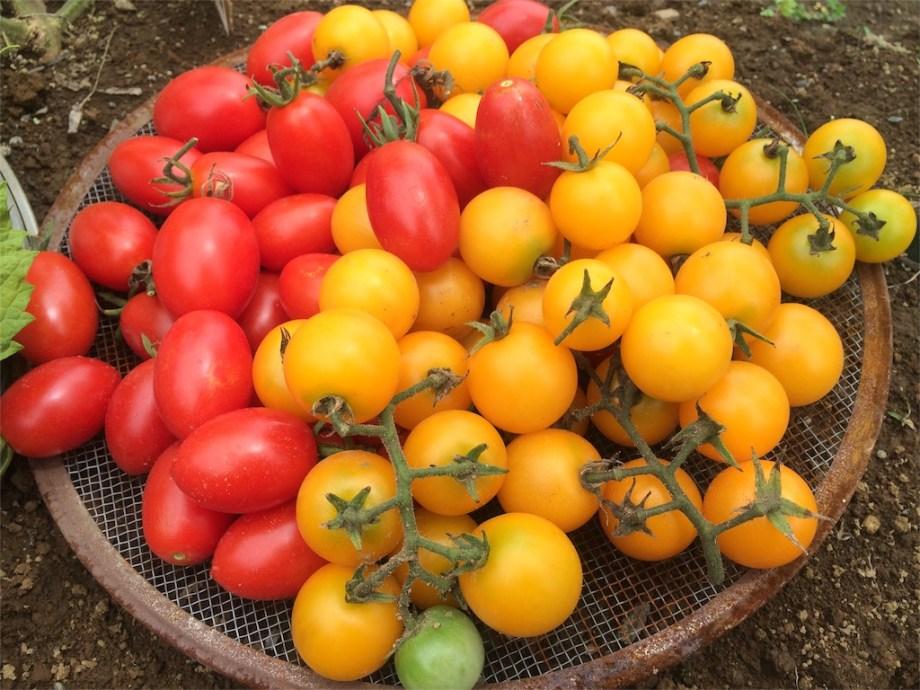 大量のミニトマト