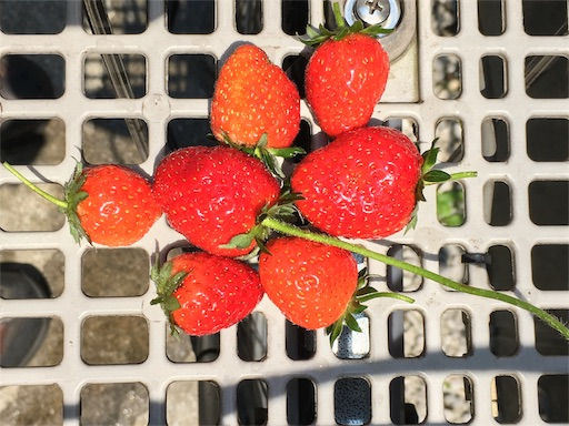 ついでに、プランターで取れたイチゴたち