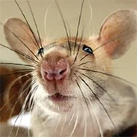 Gambian Pouched Rats