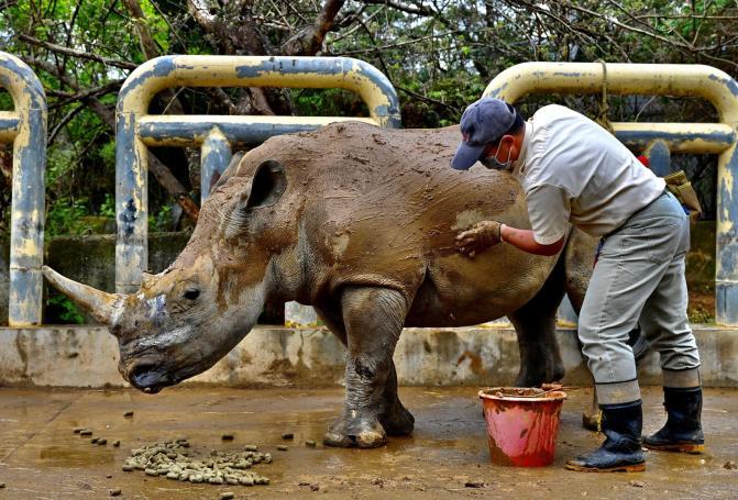 Um membro da equipe do Zoológico de Leofoo Village de Taiwan Hsinchu limpa Emma. Foto: Sam Yeh / AFP