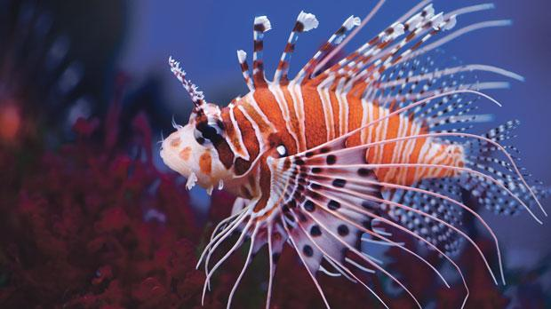 The venomous lionfish has made it to Malta