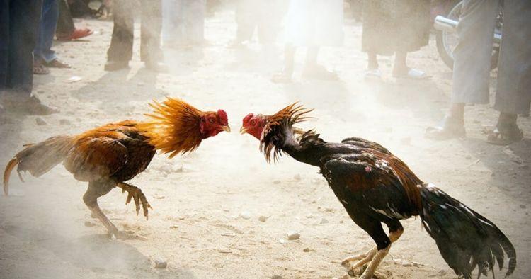 ✓ Terbaik Download Gambar Ayam Lucu