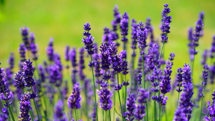 Tips Mudah Menanam Bunga Lavender di Rumah | Rumah dan Gaya Hidup |  Rumah.com