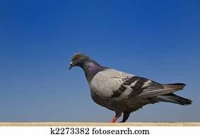 鴿子 全部種類的相片 | 1000+ 鴿子 圖片 | Fotosearch