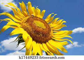 Sonnenblume Bltter Stock Fotos  1000 Sonnenblume Bltter Bilder  Fotosearch