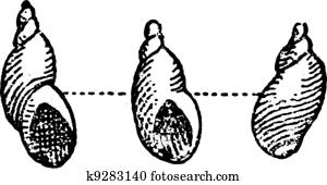 Clipart of Oyster (bivalve mollusc), vintage engraving