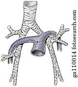 Topographic relations of pulmonary arteries and bronchi