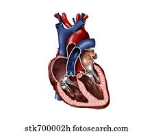 unlabeled heart diagram cross section seymour duncan wiring diagrams clip art of and lungs 9878h search human