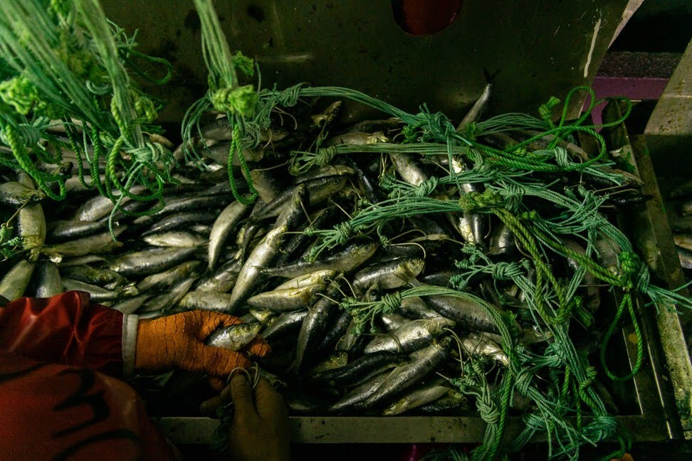 Un miembro de la tripulación del palangrero de austromerluza en la Antártida clasifica los peces.  Foto: Proyecto Outlaw Ocean