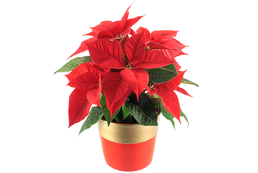 How To Care For Your Holiday Plants And Flowers