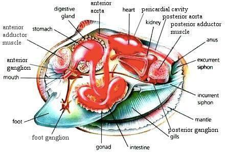 mollusca diagram labeled 2001 pontiac grand prix radio wiring clam body online data schematic