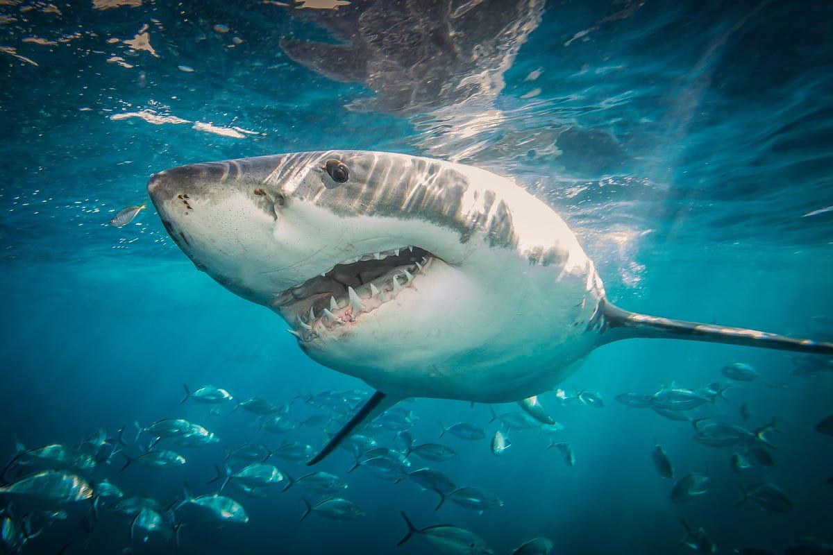 A Great White Shark On The Rehabilitation Of George W Bush