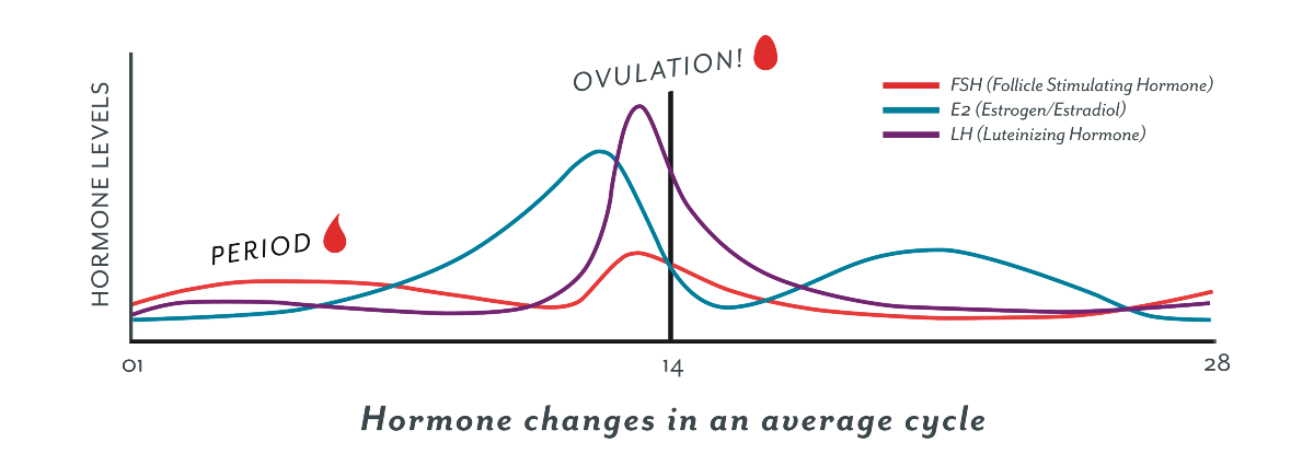 Ovulation 101: What is it & how does it work? – Clued In ...