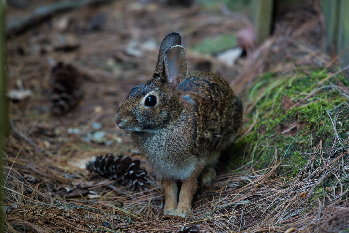 A wild rabbit in a forest setting