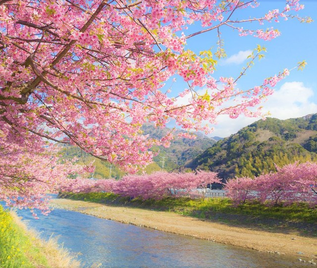Dont Miss The First Blooming Cherry Blossoms In Japan Cherry Blossoms In Kawazu City Izu Peninsula Will Be In Full Bloom In February