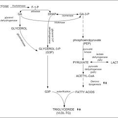 Fat Structure Diagram Pioneer Avh 291bt Wiring The Science Behind Metabolism Ketoschool Fructose Does Not Stimulate Insulin Like Glucose So In Small Amounts Is Good For Us That It Helps With Our Normal Energy Storage And