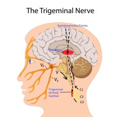 Trigeminal Nerve Diagram Micro Usb B Wiring Unraveling Neuralgia Dr Jonathan Chung Medium When The Firing Of These Nerves Is Out Balance Then Brain Perceives Things Incorrectly