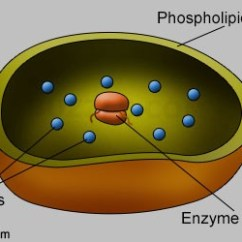 Lysosome Cell Diagram Data Flow Of Calculator Vote For – Jimmy Kim Medium