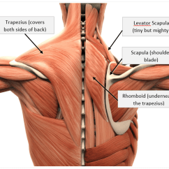 Nerves In Neck And Shoulder Diagram Dayton Wiring Instructions How To Prevent Injuries Even If You Work A Desk Job Getting Know Your Shoulders
