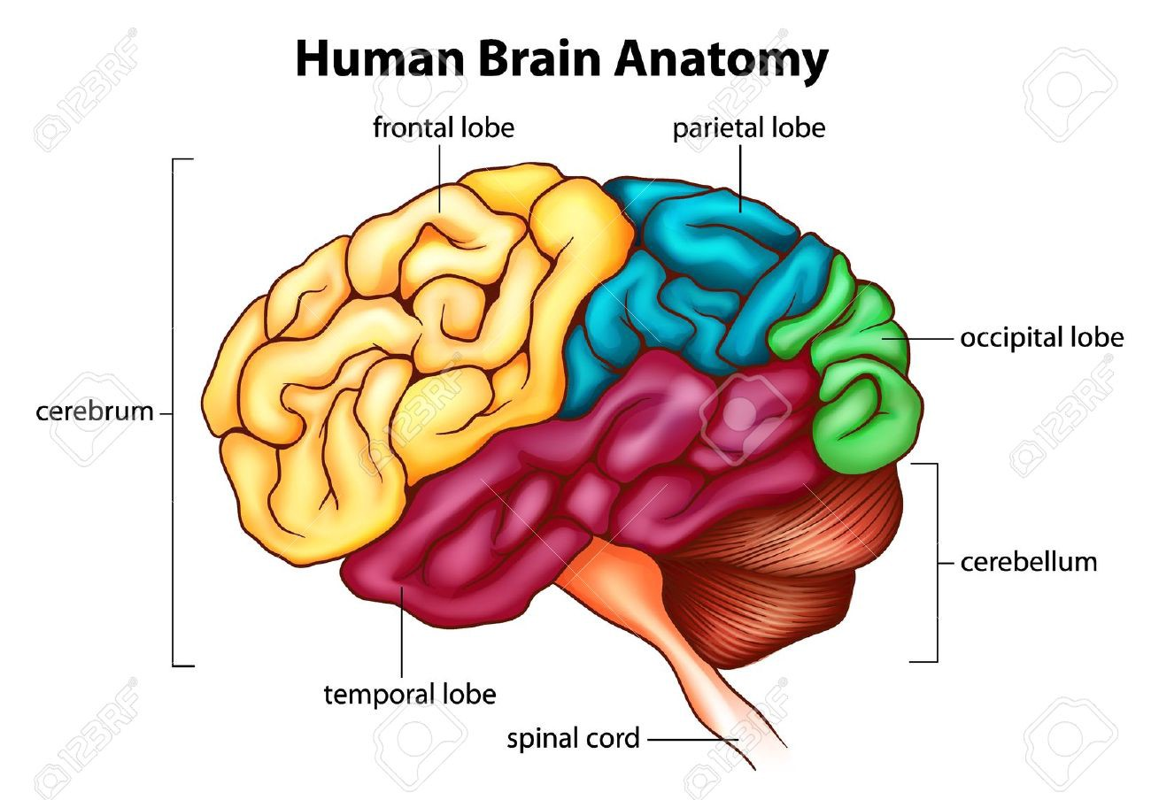 Human Brain S Mukul Malik Medium