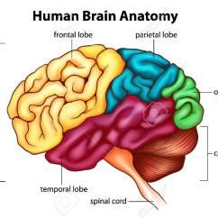 Brain Diagram Pons Jimmy Page Wiring Human Brains  Mukul Malik Medium