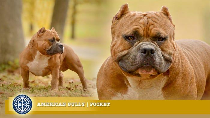 AKBC Dogs | Pocket American Bully Breeders | Bully Breeders in Texas