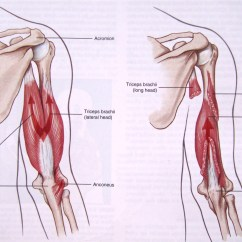 Triceps Brachii Diagram T1 Line Wiring Of Schematic Muscle Anatomy U2013 Giorgio Angioni Medium Shoulder Tendons The Medial Head Is Made Small Slow Twitch Fibers