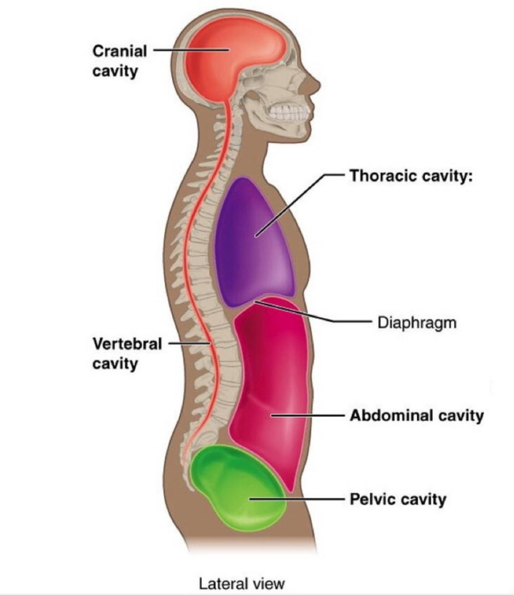 medium resolution of  shown below spine and brain chest abdomen pelvis is strongly related to spinal stiffness the great cavities contain the bodies life sustaining organs