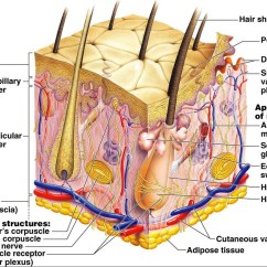 Skin Anatomy Diagram Labeled Polyethylene Phase Nanoemulsion Topicals The Real Cannabis Topical  Kyle