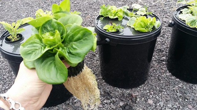 What's an essential garden without lettuce?