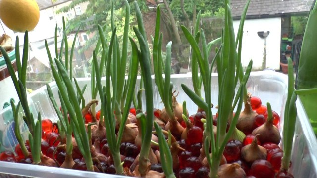 Onions made simple with hydroponic gardening.