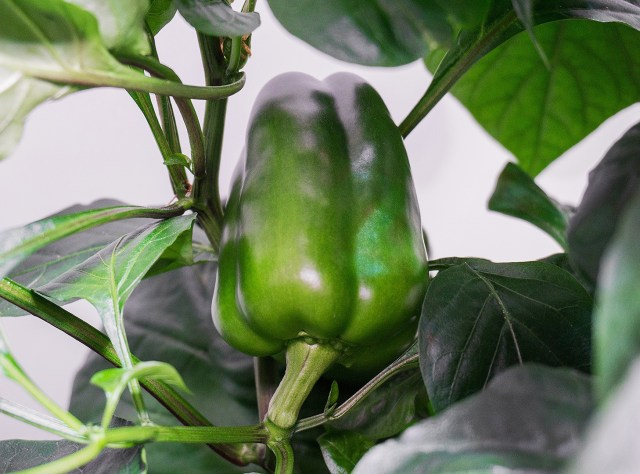 green peppers are another great food for gardeners.