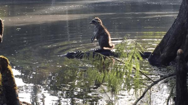 raccoon plus gator equals love