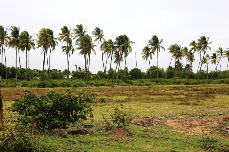 Open spaces in Guyana, the dams lined with coconut trees.