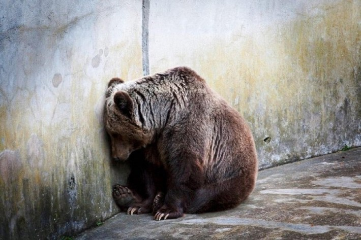 A captive bear leans against a concrete wall at the zoo