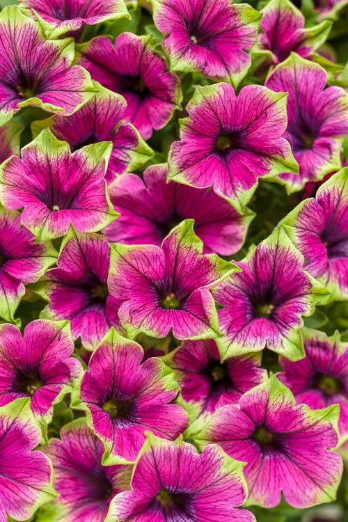 Supertunia 'Picasso In Purple'